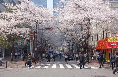 大手町・丸の内・日本橋、人気のお花見スポット
